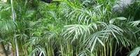 夏威夷竹怎么浇水