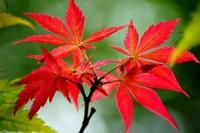 四季红枫种子种植方法,五个步骤种植