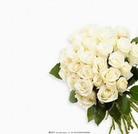 白玫瑰花高清图片大全大图