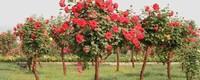 适合嫁接月季树的品种