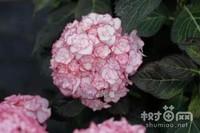 绣球花怎么繁殖,绣球花的繁殖方法(