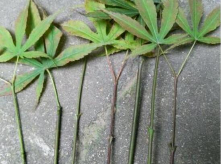 红枫叶树怎么扦插,4个步骤让红枫迅
