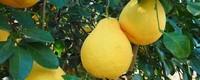 柚子有几种