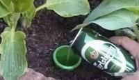 栀子花可以浇啤酒吗?可以/教你四种