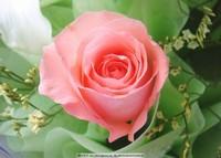 绿叶玫瑰花壁纸图片