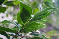新买茶花咋不长叶子,光照过强或温度