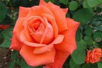 北京市市花是什么,月季是公认的市花