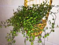 千叶吊兰怎么繁殖,千叶吊兰的繁殖方法/扦插和分株