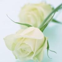 冬天里的白玫瑰花图片