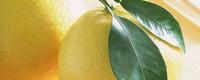 柚子北方可以种植吗