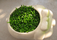 石榴籽制作小盆栽