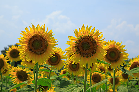 向日葵花图片大全大图
