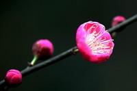 梅花品种及介绍
