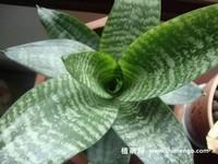【短叶虎尾兰怎么养】短叶虎尾兰的养殖、繁殖