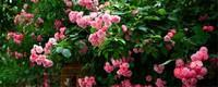 蔷薇怎么扦插繁殖