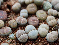 生石花怎么浇水,生石花多久浇一次水(四季不同)