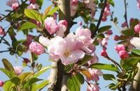 日本海棠的养殖方法:喜阳光、湿润,怕