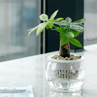 发财树小盆栽怎样养护:高温生长期要
