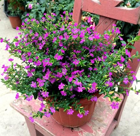 花卉满天星盆栽图片