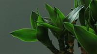 富贵竹怎么大量繁殖