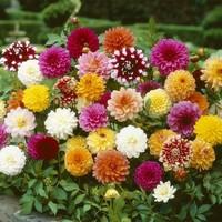 大丽花种子图片