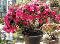 盆栽西洋鹃怎么养殖,五个要点让西洋鹃花繁叶茂