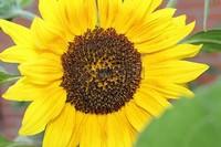 向日葵的花语和寓意是什么,适合送什