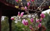 紫玉兰树几年才开花,紫玉兰什么时候