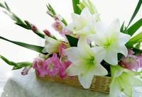 百合花的花语是什么,送女人百合花什