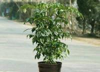平安树多少钱一棵,平安树哪个品种好
