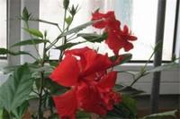 朱槿和木槿花的区别,4种方法分辨两者不同