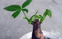 发财树烂根是怎么处理,剪除烂根烂叶