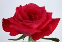 最美红色玫瑰花图片大全集