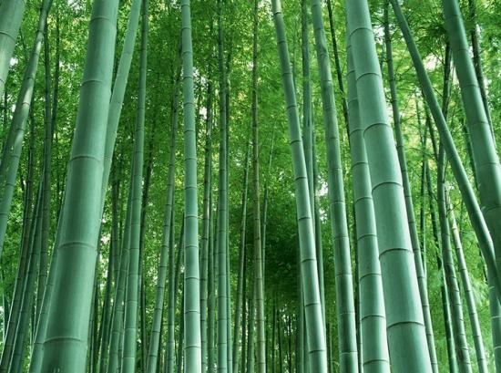 竹子的象征意义:象征君子