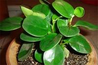 碧玉植物怎么枝插,4个步骤扦插繁殖