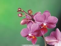 蝴蝶兰花卉高清图片