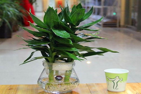 富贵竹水培怎么改土培