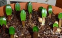 君子兰繁殖方法有几种,君子兰老根繁