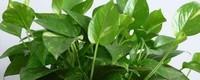 绿萝叶子有毒吗