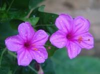 怎样栽培紫茉莉的根