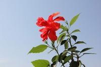 木菊花图片