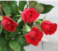 卡罗拉红玫瑰花图片