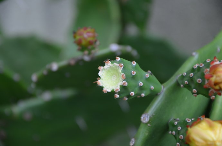 单刺仙人掌开花的图片