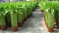富贵竹怎么移栽