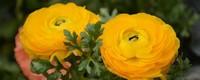 花毛茛的花语