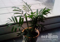 袖珍椰子怎么养长得快,注意这四点就