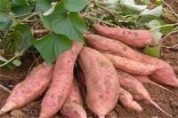 种红薯的方法,5个步骤种出美味的红薯
