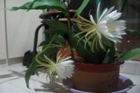 昙花怎么养才开花,5个步骤使其快速开花