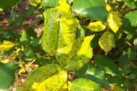 月季为什么掉叶子发黄,施加生肥遭受病虫害