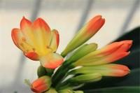 君子兰花怎么留种,异花授粉花箭剪除